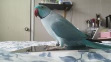 This Parrot Is Head Over Heels In Love With Its Tablet