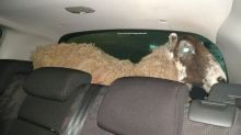 Shocked police find sheep in car boot after pulling driver over for running red light