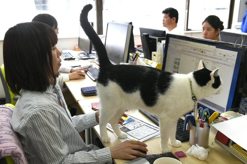 A cat walks across the desk at an IT office in Tokyo, where felines help alleviate stress and anxiety (AFP Photo/YOKO AKIYOSHI)
