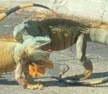 Pair of iguanas hold up traffic as they duel in Florida Starbucks car park