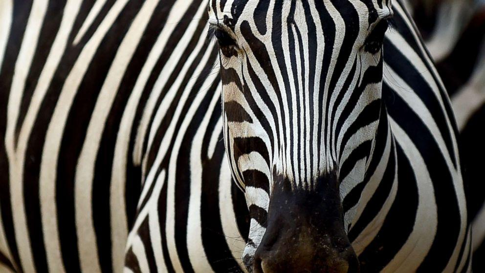 Scientists may have just discovered why zebras have stripes