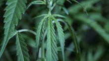 Crece plantación de marihuana fuera de las instalaciones del Senado mexicano
