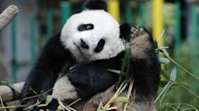 Giant pandas in China are fleeing their habitats because of horses and cows