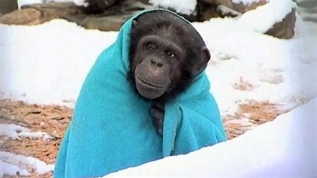 Chilly chimp wears blanket, sips tea to keep warm