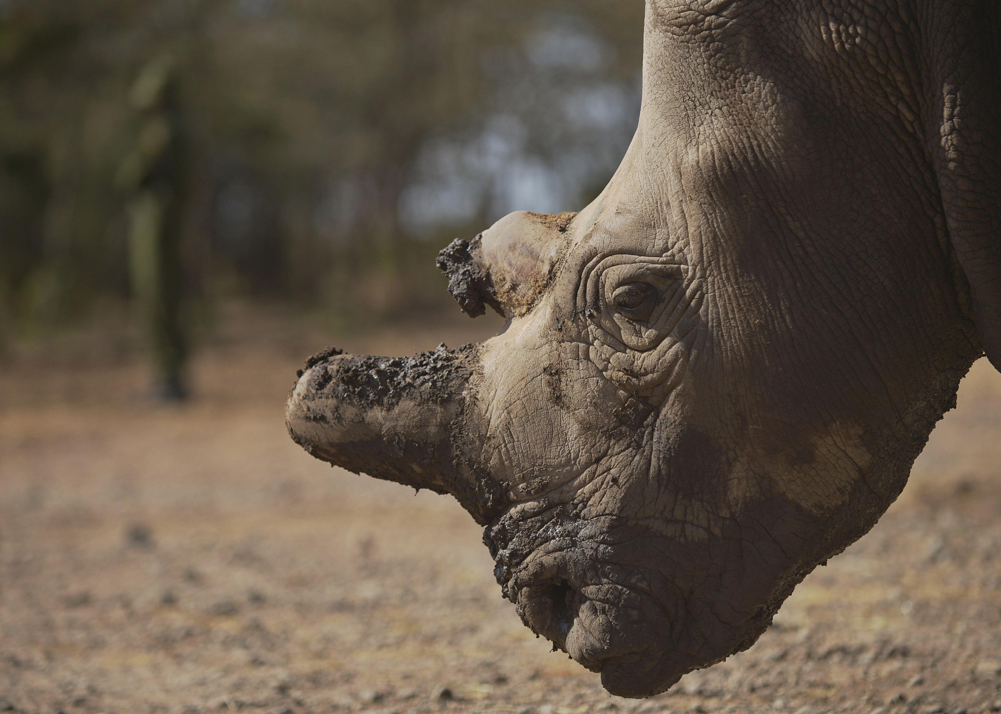 A northern white female rhinoceros at the Ol Pejeta Conservancy, a species scientists hope will stave off extinction thanks to assisted reproduction (AFP Photo/Tony Karumba)