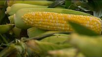 Sweet, Ground Corn Slow To Grow Around The State