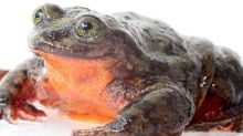 Frog believed to be last of its kind has finally found a mate