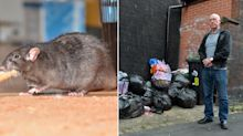 'Cannibal' rats becoming more aggressive as they enter homes during pandemic