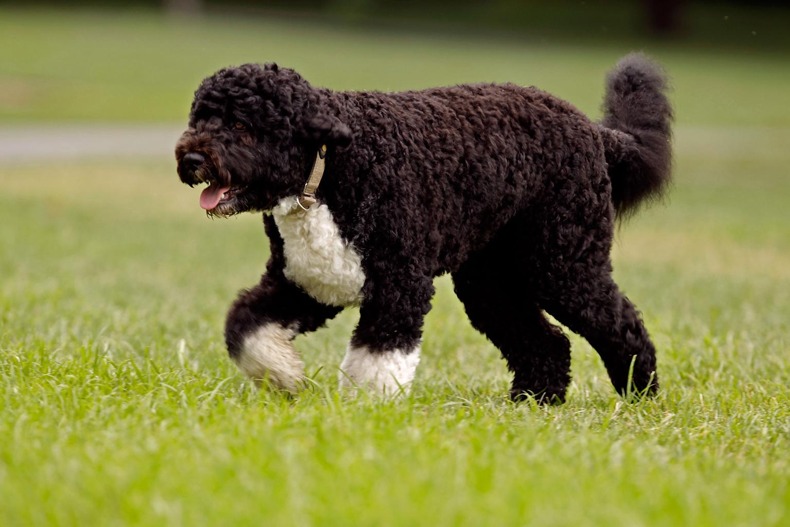 The Obama family dog, a Portuguese water dog named Bo, trots across the South Lawn August 2, 2010 in Washington, DC. Bo was out for a walk before President Barack Obama left the White House to travel to Atlanta, Georgia, where he will address the Disabled American Veterans convention about the ongoing wars in Iraq and Afghanistan. (Photo by Chip Somodevilla/Getty Images)