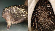 What caused this echidna's horrific bushfire injuries