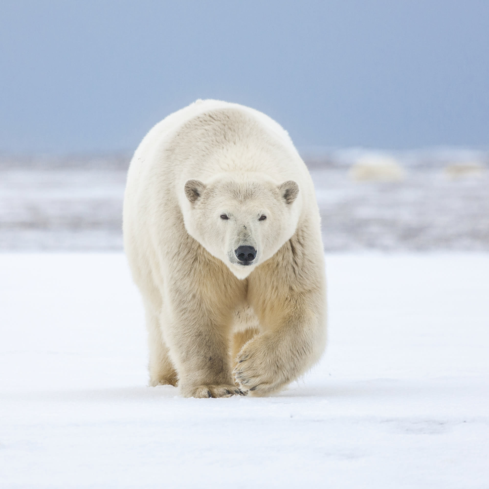 Polar bears may die out by 2100 due to climate change