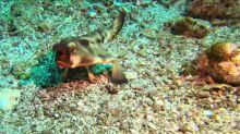 Freaky little fish walks on legs, appears to be wearing red lipstick!