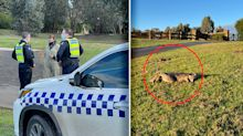 'Deeply troubled': Multiple kangaroos found dead at golf course