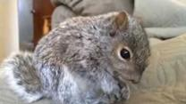 NFL Draft Nerves Cause Baby Squirrel to Stress Eat