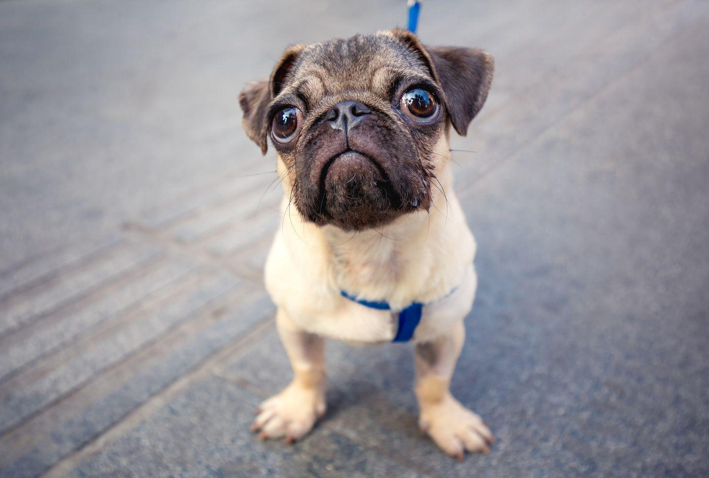 """<p>The personable pug wouldn't exist without the Chinese. Dogtime reports that the breed dates back to <a href=""""https://dogtime.com/dog-breeds/pug#/slide/1"""" rel=""""nofollow noopener"""" target=""""_blank"""" data-ylk=""""slk:the Han dynasty"""" class=""""link rapid-noclick-resp"""">the Han dynasty</a> in 206 B.C. They were dogs for the emperors and lived in fancy accommodations guarded by soldiers.</p>"""