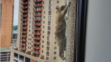Good news: The raccoon that scaled a building was released back into the wild