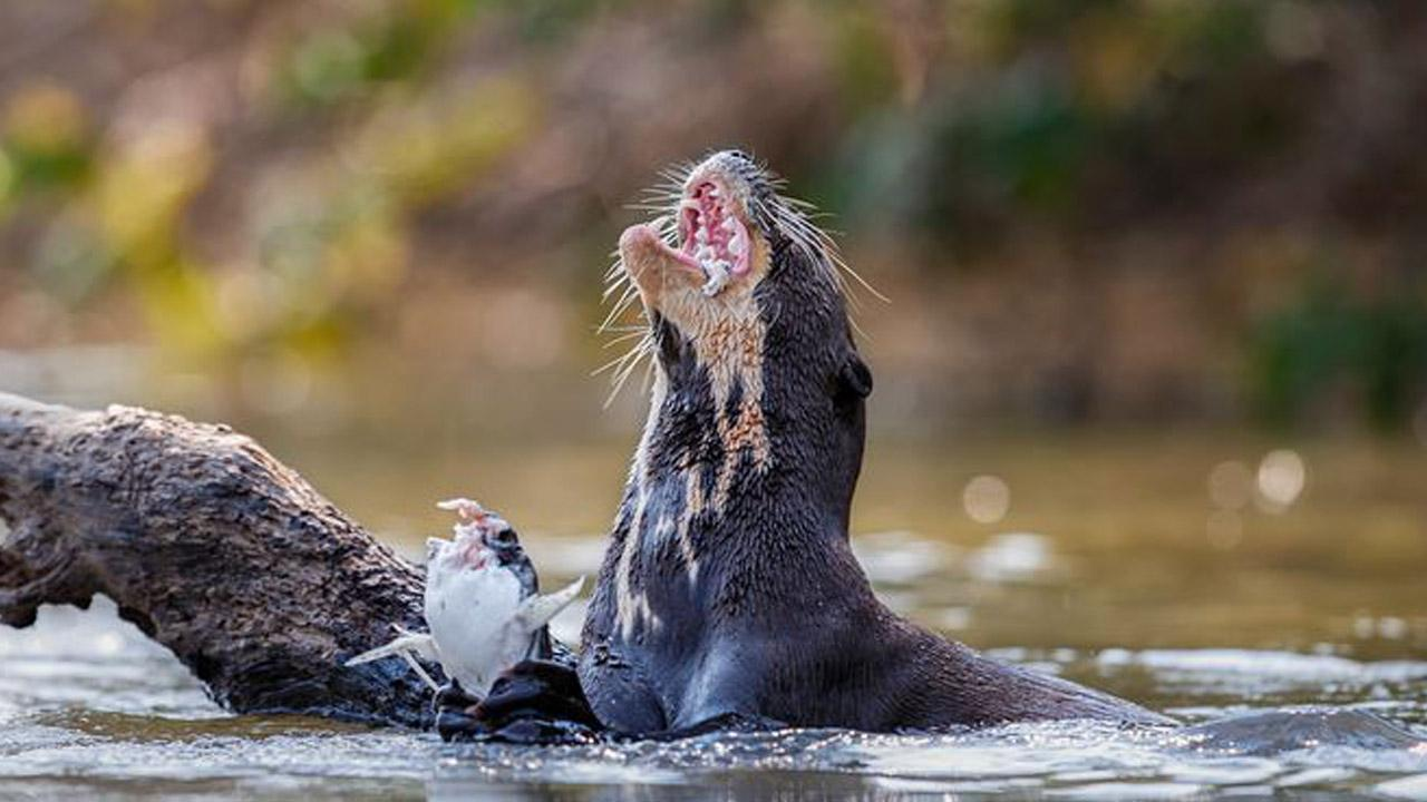 Wild Otter Attacks 77-Year-Old Woman Kayaking on Florida River