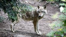 Guns versus dogs: Swiss decide Sunday on law to ease curbs on wolf shooting