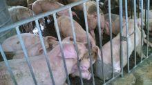 群眾搶物資加清明祭祀 產地毛豬價大漲 零售價持平