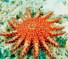 Australia launches mass cull of coral-eating starfish to save Great Barrier Reef