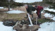 Newfoundlanders rescue baby moose trapped in snowbank
