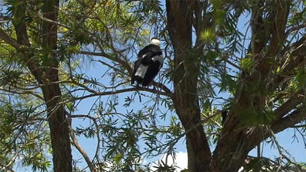 Magpie shot in head healthy again