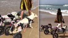 Heartwarming video shows disabled shelter dogs visiting beach in wheelchairs