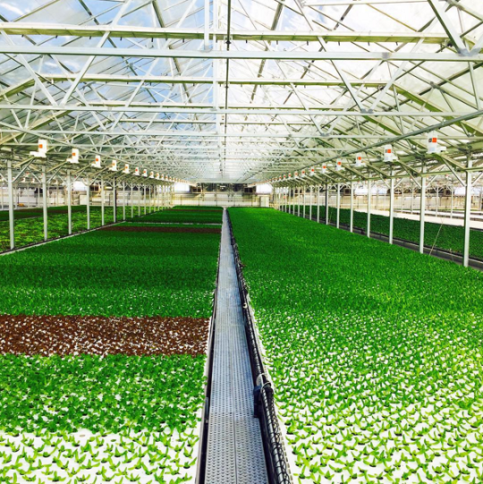 "<p>The 75,000-square-foot farm, bigger than a city block, is also the world's largest greenhouse. So it gets all the natural light and none of the snow, sleet, and slush that Chicago is well known for. <i>(Photo: <a href=""https://www.instagram.com/gothamgreens/"" rel=""nofollow noopener"" target=""_blank"" data-ylk=""slk:Gotham Greens/Instagram"" class=""link rapid-noclick-resp"">Gotham Greens/Instagram</a>)</i><br></p>"