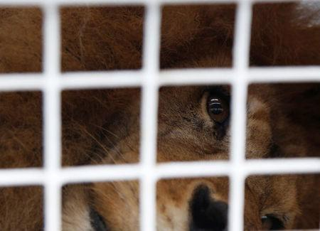 A former circus lion looks out from inside its cage in Callao, Peru, as it is prepared for transportation to a wildlife sanctuary in South Africa, April 29, 2016. REUTERS/Janine Costa