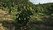 United Cacao:the sad tale of when things really go wrong for Aim investors