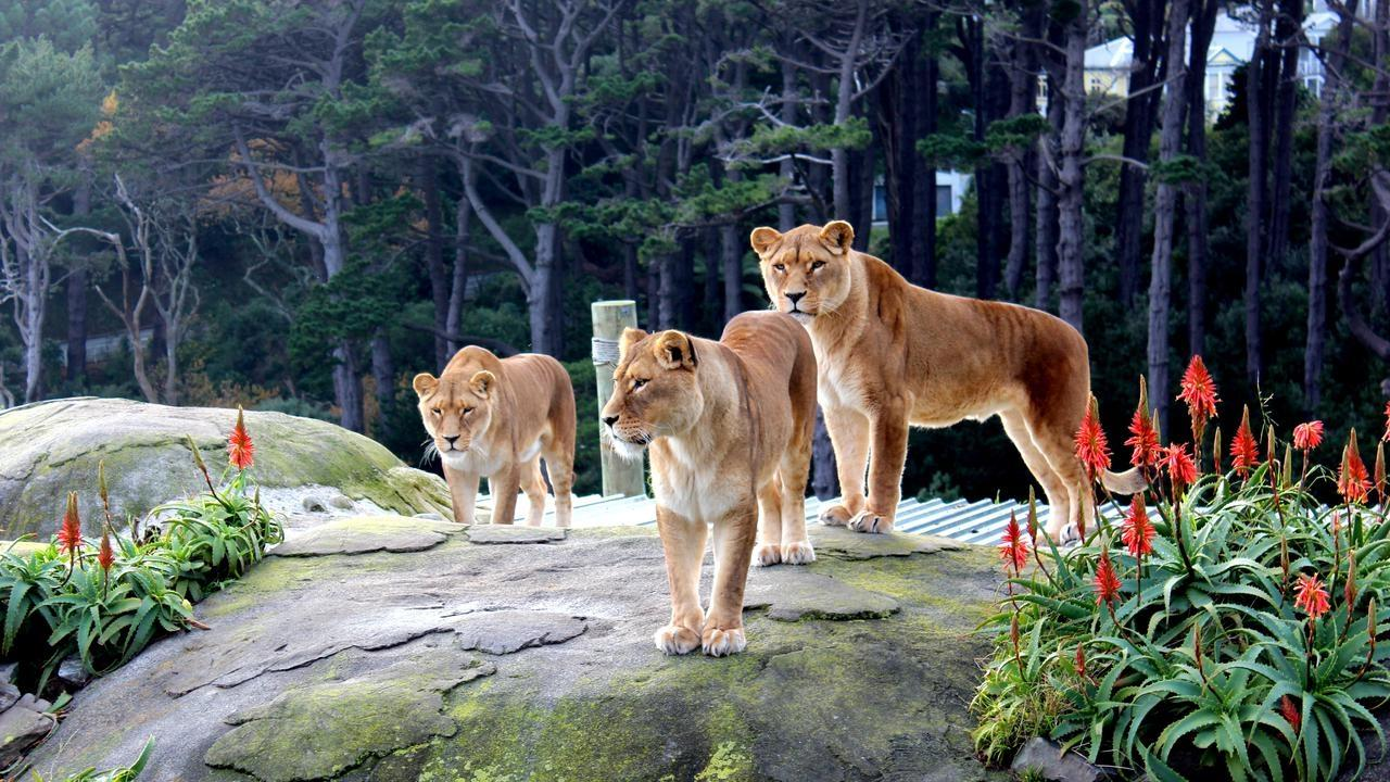 Wellington Zoo is losing its lion's pride