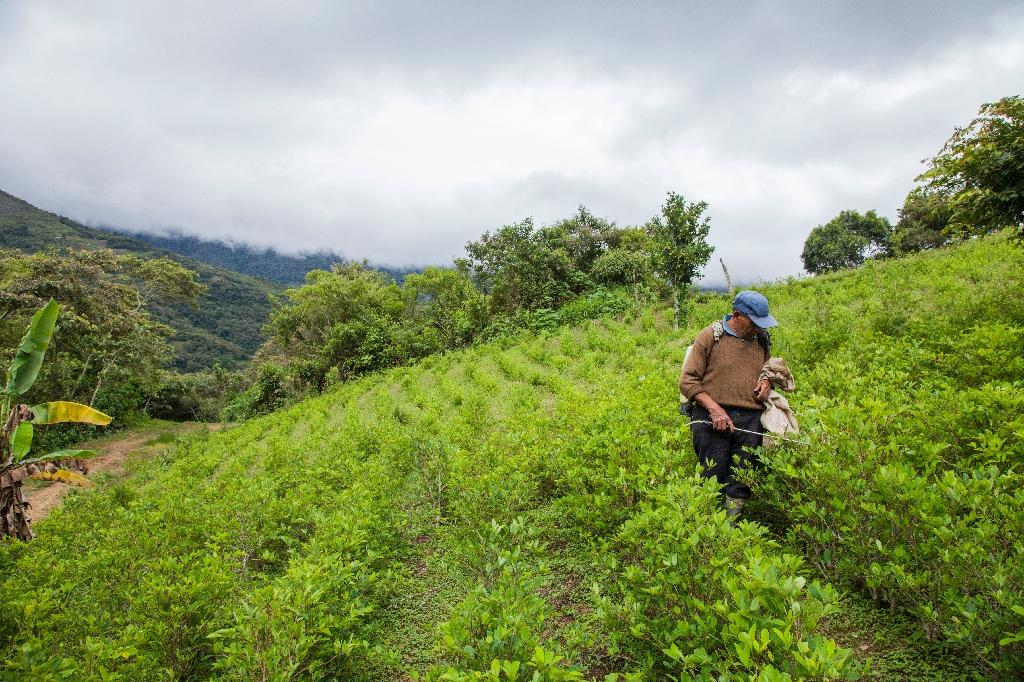 The UN Office on Drugs and Crime says the area under coca cultivation has increased by 7 percent in a year, to 24,500 hectares (AFP Photo/William Wroblewski)