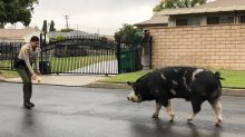 Nacho Cheese or Cool Ranch? Doritos lure rogue pig back home
