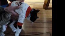 Kitten really doesn't like its new jumper