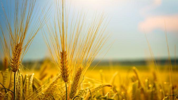 A field of wheat used to train Microsoft's AI image captioning