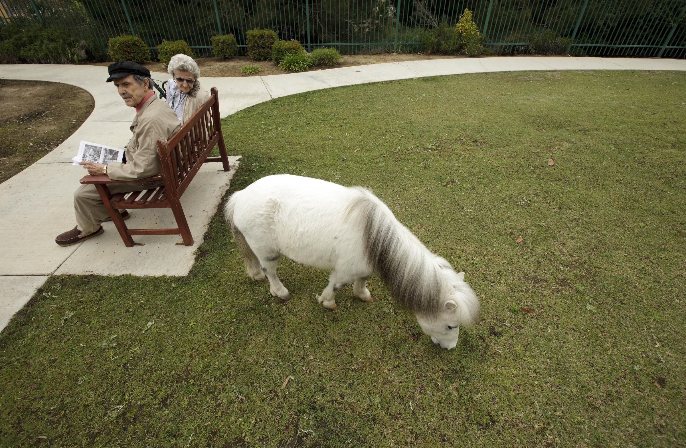 John Martinez, left, and Barbara Gray sit on a bench as a miniature horse grazes at the Silverado Senior Living Center Tuesday, May 1, 2012, in Encinitas, Calif. At the senior center, residents are encouraged to bring their pets. Everything from miniature horses to chinchillas can be found on the grounds, and residents benefit from frequent contact with the pets. (AP Photo/Gregory Bull)