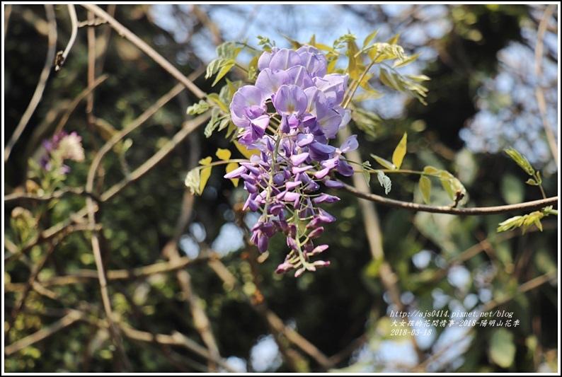 陽明山櫻花季(紫藤)-2018-03-01.jpg