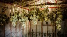 Cannabis stocks mixed with Aleafia falling after earnings, Canopy updates on NYC hemp plans