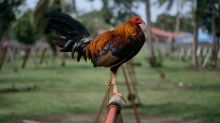 Indian man killed by his own rooster during cockfight