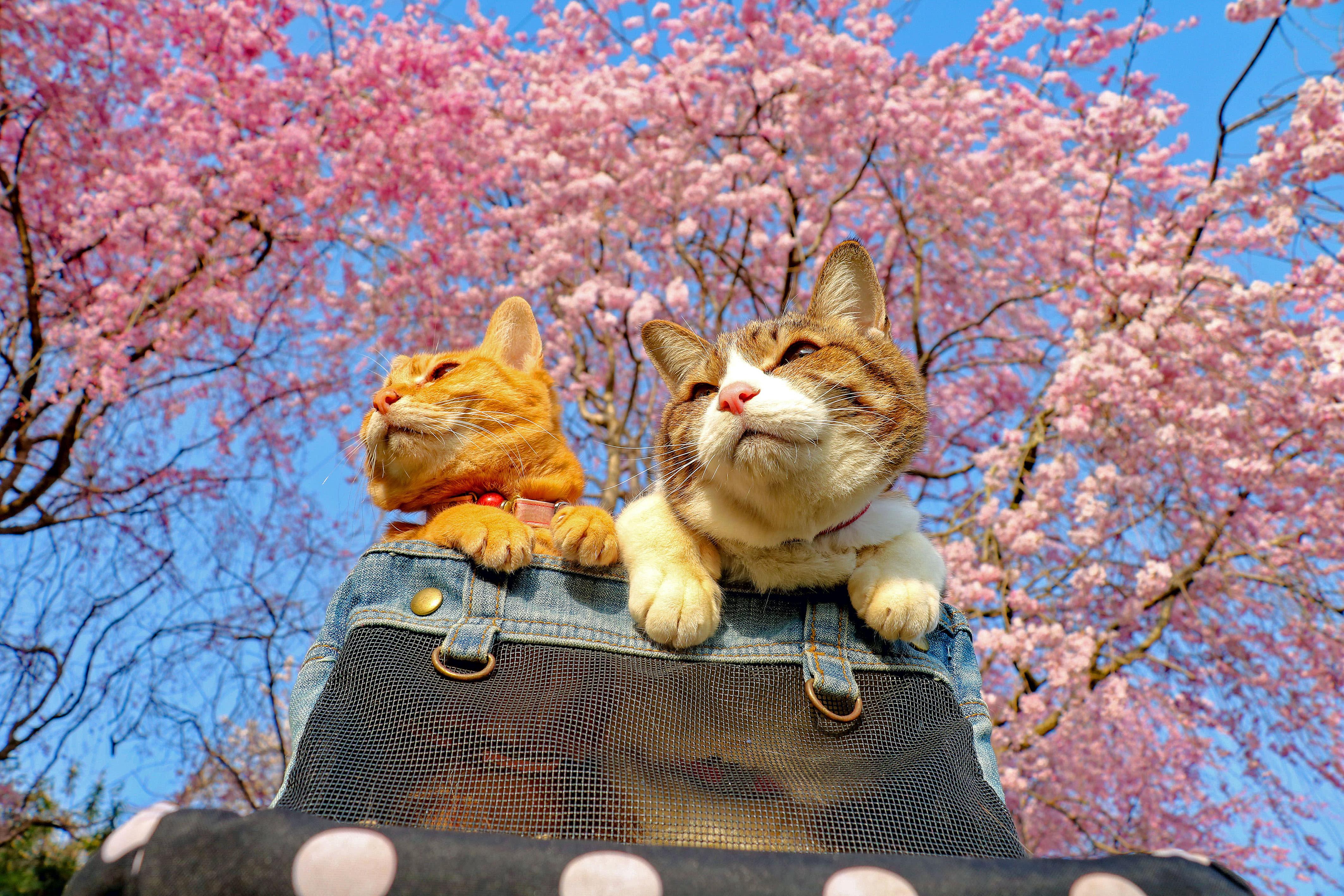 <p>Daisuke Nagasawa travels nationally and internationally with his cats, Fuku-Chan and Daikichi. Here, the two pose under the iconic Japanese cherry blossoms. (Photo: Daisuke Nagasawa/Caters News) </p>