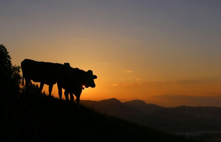 Many Austrian farmers take their cattle to graze in mountain pastures in the spring, bringing them back down before winter