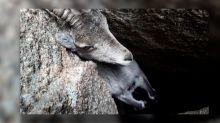 Rescatan una cabra atrapada en la Sierra de Guadarrama