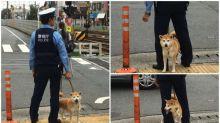 日本超可愛警察犬 周街賣萌Twitter熱傳