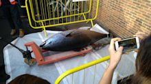 Huge 2.3-metre bluefin tuna caught off Devon coast by fisherman trawling for SPRATS