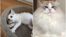 日本長毛喵前後對比 貓奴曾經擔心唔生毛