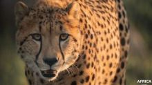 An unprecedented story in Canada: Parc Safari rewilds two cheetahs in their natural habitat in Africa