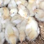 Over 160 chicks dumped and left to die 'because they didn't sell before Easter'