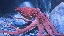 Octopuses are so weird they can even ignore their own genetic instructions