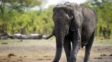 Zwölf Elefanten-Kadaver in Simbabwe gefunden