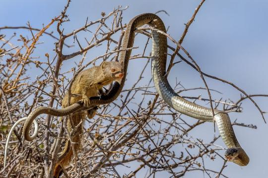 Mongoose Turns Tables On Venemous Snake By Sneaking Up On Deadly Boomslang